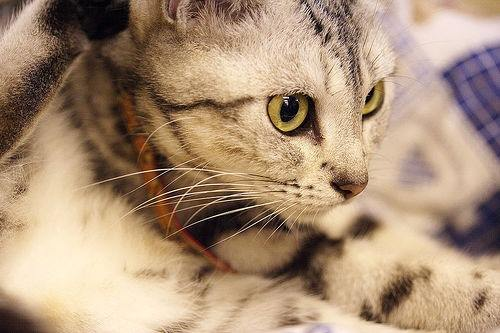 chat-american-shorthair