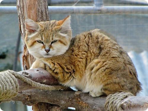 chat-des-sables-sur-une-branche