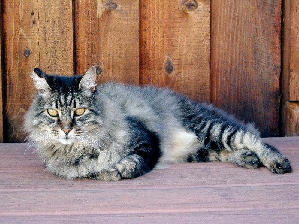 chat-manx-gris