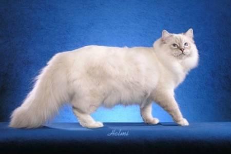 Long Do Ragdoll Cats Live