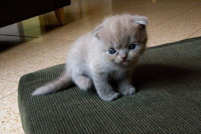 chaton-scottish-fold