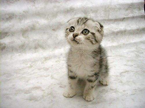 chaton-scottish-fold-avec-rayures