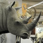 """A man looks at a  rhino at the international hunting fair in Dortmund, Germany, Thursday, Feb. 3, 2011. """"Jagd & Hund"""" (Hunt and Dog) is Europe's biggest fair for hunting and fishing.(AP Photo/Martin Meissner)"""